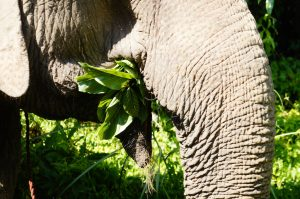 Did you know??? Elephants eat roughly 250kg per day